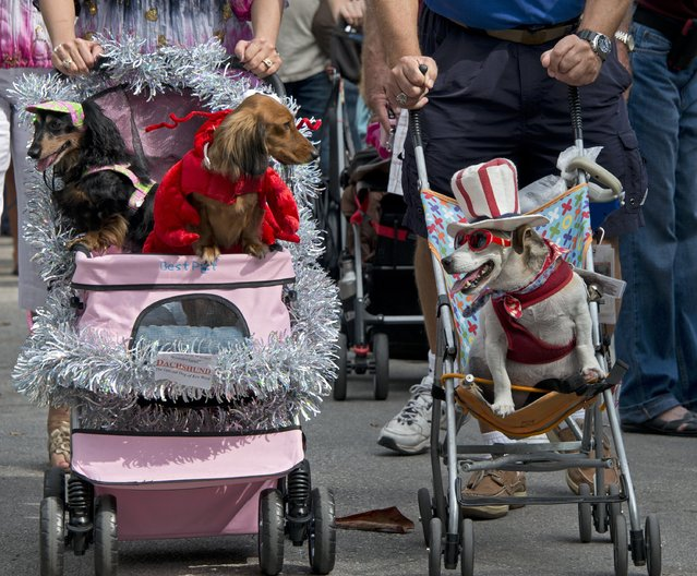In this photo provided by the Florida Keys News Bureau, costumed canines get pushed in Key West, Fla., Tuesday, December 31, 2013, during the annual Key West Dachshund Walk. About 200 dogs participated in the New Year's Eve procession. (Photo by Andy Newman/AP Photo/Florida Keys News Bureau)