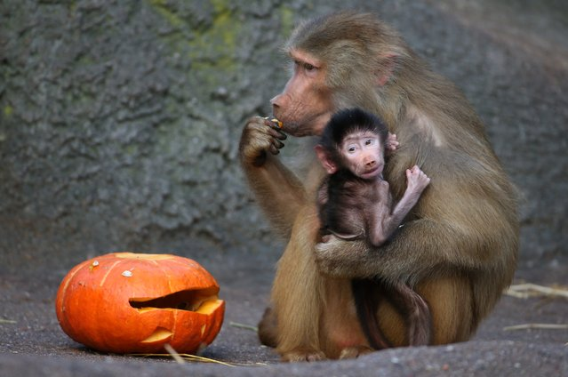 A baboon with a baby tastes a pumpkin in Halloween design on October 29, 2013 at the Hagenbeck zoo in Hamburg, northern Germany. (Photo by Christian Charisius/AFP Photo)