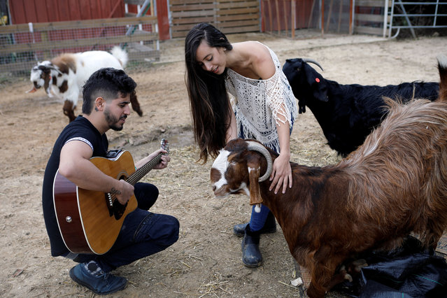 "A volunteer plays guitar as another pats a goat at ""Freedom Farm"" which serves as a refuge for mostly disabled animals in Moshav Olesh, Israel on March 7, 2019. (Photo by Nir Elias/Reuters)"