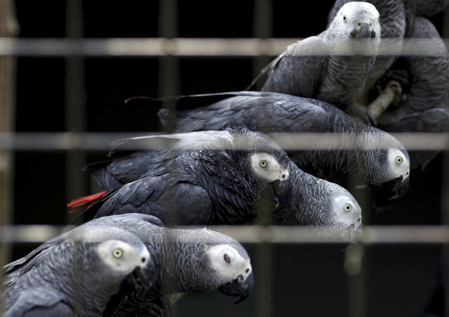 African grey parrots rescued from an illegal trader by Ugandan officials at the Uganda-Democratic Republic of Congo border crossing are seen at the Uganda Wildlife Education Centre in Entebbe, southwest of the capital Kampala, Uganda January 12, 2011. (Photo by James Akena/Reuters)