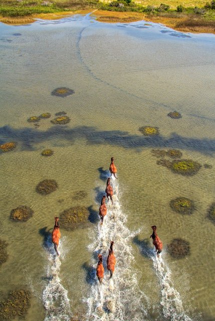 A herd of majestic wild horses appear to race against each other as they gallop freely through the shallow waters of the Crystal Coast. (Photo by Brad Styron/Solent News & Photo Agency)