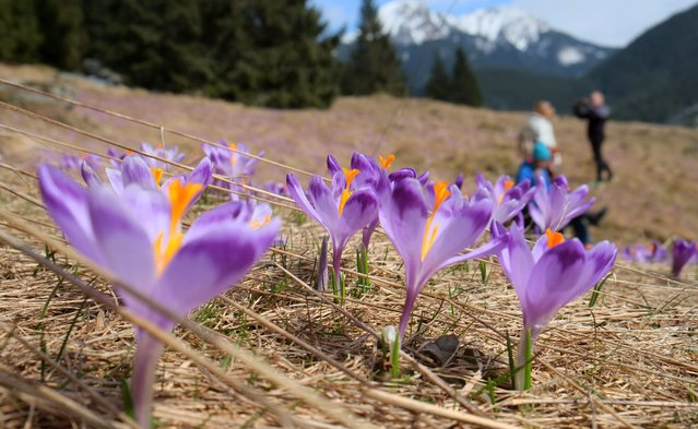 First crocuses blooming in Chocholowska Valley, as the spring arrived to the Tatra Mountains near Zakopane, Poland, 28 March 2016. (Photo by Grzegorz Momot/EPA)