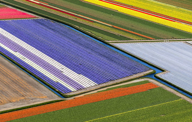 An aerial view of the flower fields of the Keukenhof in Lisse, The Netherlands, 10 April 2019. The weather forecast predicts sunny days in Lisse throughout the week. (Photo by Remko De Waal/EPA/EFE)
