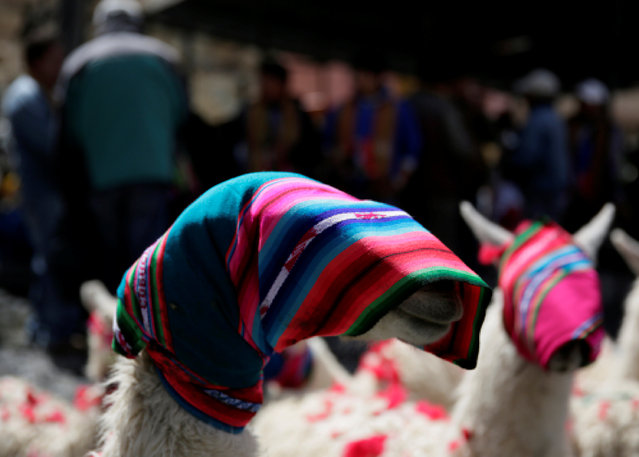Llamas with covered heads are seen, as workers bless the mine by offering animal sacrifice as part of Andean carnival celebrations, at the Mina Itos onn the outskirts of Oruro, Bolivia, February 24, 2017. (Photo by David Mercado/Reuters)