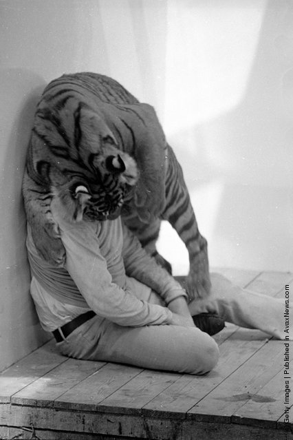 1971: A tiger appears to be biting John Aspinall's head off