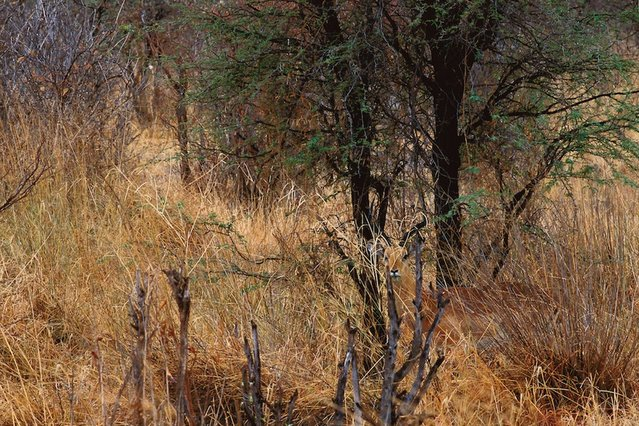 Wild: An impala is hiding in his natural habitat – but where? (Photo by Caters News)