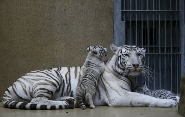 Suraya Bara, an Indian white tiger, rests with its newly born cubs in their enclosure at Liberec Zoo, Czech Republic, April 25, 2016. (Photo by David W. Cerny/Reuters)