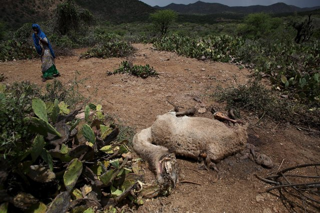 A woman walks past the carcass of a camel that has died due to the severe drought near the town of Qol Ujeed, on the border with Ethiopia, Somaliland April 17, 2016. (Photo by Siegfried Modola/Reuters)