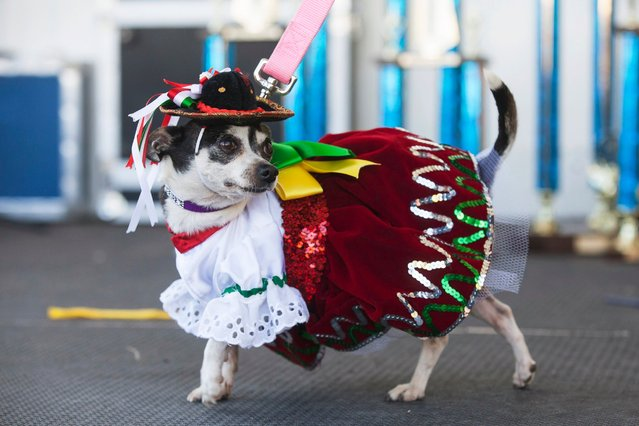 A Chihuahua struts in a Mexican-themed festive outfit after the Chihuahua races held for the Si Se Puede Foundation's Cinco de Mayo Festival in Chandler, Ariz. on May 3, 2014. (Photo by Samantha Sais/Reuters)