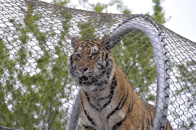 An Amur tiger walks over the new Big Cat Crossing at the Philadelphia Zoo in Philadelphia, Pennsylvania May 7, 2014. The new animal exploration trail experience called Zoo360 of see-through mesh trails enables animals to roam around and above Zoo grounds. (Photo by Charles Mostoller/Reuters)