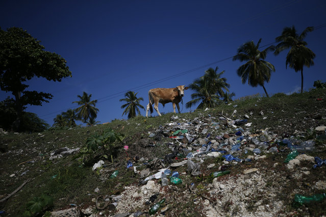 A cow grazes on a hillside littered with trash at a beach near Jacmel, Haiti, Sunday, October 6, 2019. (Photo by Rebecca Blackwell/AP Photo)