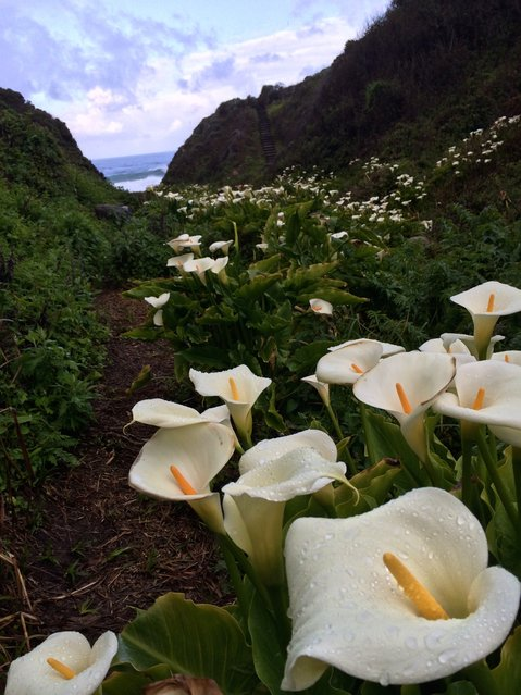 """Calla Lily Valley"". Unmarked valley in Big Sur with thousands of calla lilies emptying into the sea. Photo location: Big Sur, California. (Photo and caption by Laura Hoffner/National Geographic Photo Contest)"