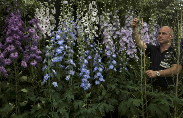 A man arranges a display of delphiniums during preparations for the RHS Chelsea Flower Show in London, Britain May 21, 2016. (Photo by Neil Hall/Reuters)