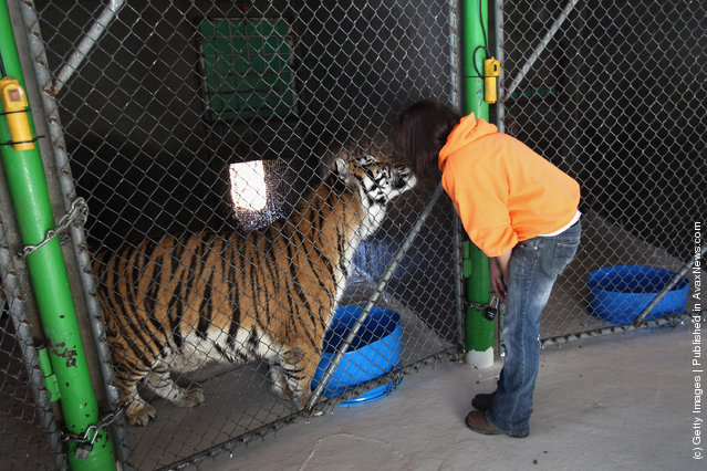 Animal caretaker Tawny Richey greets a tiger at The Wild Animal Sanctuary