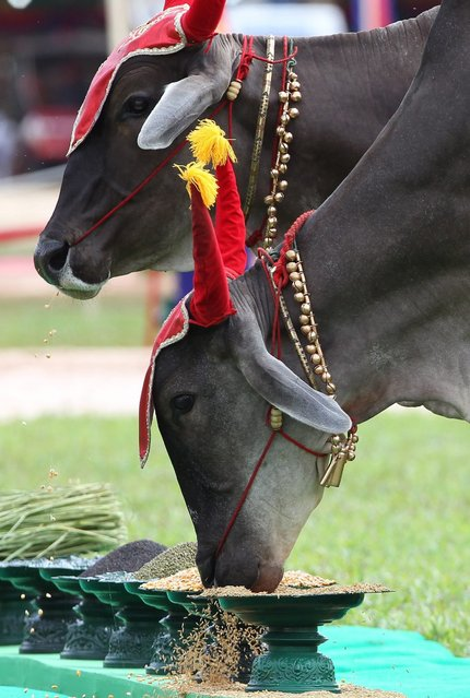 Royal oxen eat rice and corn during the Royal Ploughing Ceremony procession near Bayon temple in Siem Reap province, Cambodia, 24 May 2016. The Royal Ploughing Ceremony is celebrated to predict the upcoming distribution of rainfall and agricultural harvesting in the country through the oxen's appetite of paddy, corn, beans, grass, sesame, water or wine. (Photo by Mak Remissa/EPA)
