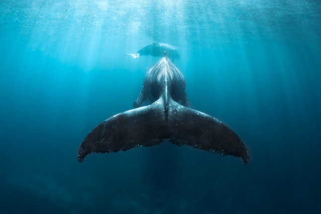 "The images were taken off the coast of Tonga in the South Pacific. Photographer Grant Thomas said: ""Through my images I aim to show off the amazing life we have on our planet in hope of inspiring more people to experience it for themselves and, most importantly, care for it. There is nothing to be afraid of with the humpback whales, as these animals are some of the most majestic and peaceful creatures in the sea. They will often be very curious of people in the water and will even seek out interactions with us"". (Photo by Grant Thomas/Caters News Agency)"