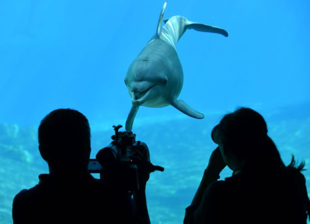 People take photograph and film a dolphin swimming inside its enclosure at the Resort World Sentosa's S.E.A Aquarium in Singapore on June 7, 2016. As part of global celebration for World Oceans Day, S.E.A Aquarium will launch a 10-day conservation themed activities from June 17 to 26 in raising awareness on protecting oceans. (Photo by Roslan Rahman/AFP Photo)