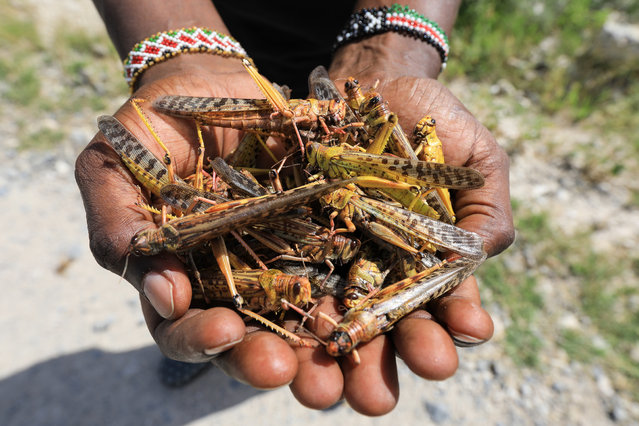 """A local tour guide holds a handfull of dead desert locusts after an invasion in Shaba National Reserve in Isiolo, northern Kenya, 16 January 2020. Large swarms of desert locusts have been invading northern Kenya for weeks, after having infested some 70 thousand hectares of land in Somalia which the United Nations Food and Agriculture Organisation (FAO) has termed the 'worst situation in 25 years' in the Horn of Africa. FAO cautioned on 13 January 2020 that it poses an """"unprecedented threat"""" to food security and livelihoods in the region. The government is spraying pesticide in the affected areas to battle the insects. (Photo by Daniel Irungu/EPA/EFE)"""
