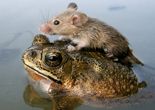 A mouse rides on the back of a frog in floodwaters in the northern Indian city Lucknow June 30, 2006. (Photo by Pawan Kumar/Reuters)