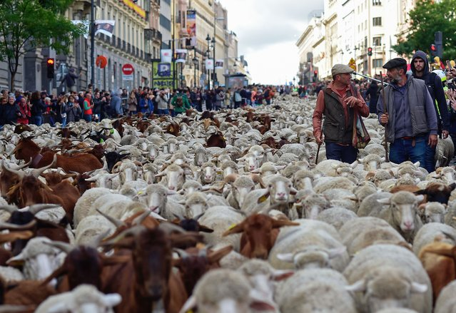 Shepherds herd flocks of sheep in the city center of Madrid on October 20, 2019. Shepherds guided a flock of around 2,000 sheep through the streets of Madrid today in defence of ancient grazing and migration rights increasingly threatened by urban sprawl. (Photo by Oscar Del Pozo/AFP Photo)
