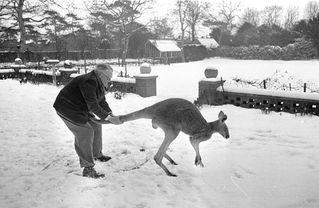 1954: Adopted as a family pet by an Australian family now living in Lincoln, Pinto is made frisky by the snow that was never known to him back in Australia