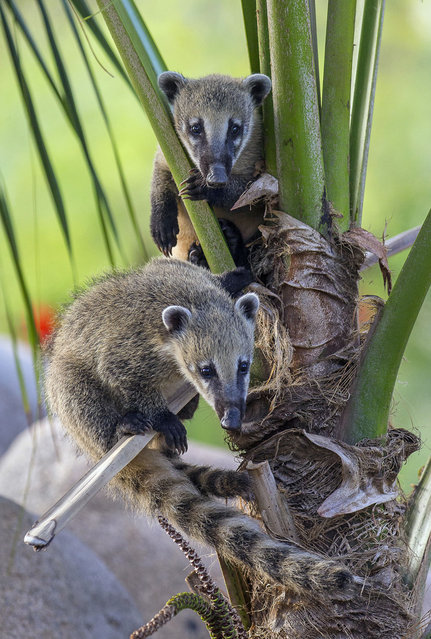 Two South American coatis peer from a tree in their new habitat at the San Diego Zoo Safari Park in San Diego Tuesday, August 5, 2014. The 3-month-old coatis rarely are still as they spend the majority of their day playing, jumping, climbing trees and digging in the dirt. Keepers describe the coatis as very curious, very smart and always very active. (Photo by Ken Bohn/AP Photo/San Diego Zoo Safari park)