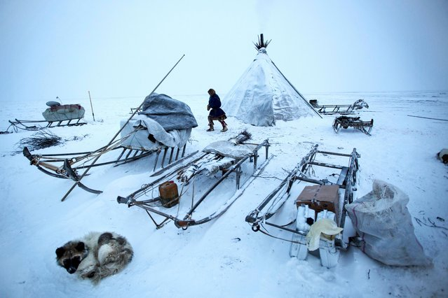 Members of the Nenets tribe take down their tepee as they prepare to move on in their winter migration in Siberia, December 2016. (Photo by Timothy Allen/Barcroft Productions)