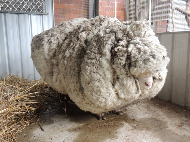 In this photo provided by the RSPCA/Australian Capital Territory, an overgrown sheep found in Australian scrubland is prepared to be shorn in Canberra, Australia, Thursday, September 3, 2015. The wild, castrated merino ram named Chris, yielded 40 kilograms (89 pounds) of wool – the equivalent of 30 sweaters – and sheded almost half his body weight. (Photo by RSPCA ACTvia AP Photo)