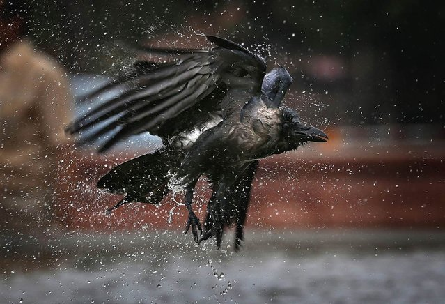 A crow takes off after drenching itself in a roadside fountain on September 7, 2012 in New Delhi, India. (Photo by Saurabh Das / AP Photo)
