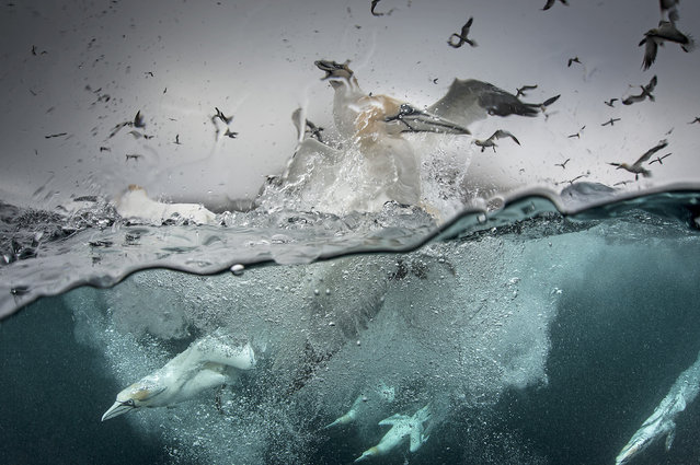 Gannets dive into the sea and swarm above the water in search of food, 2014, in Shetland, Scotland. (Photo by Richard Shucksmith/Barcroft media)