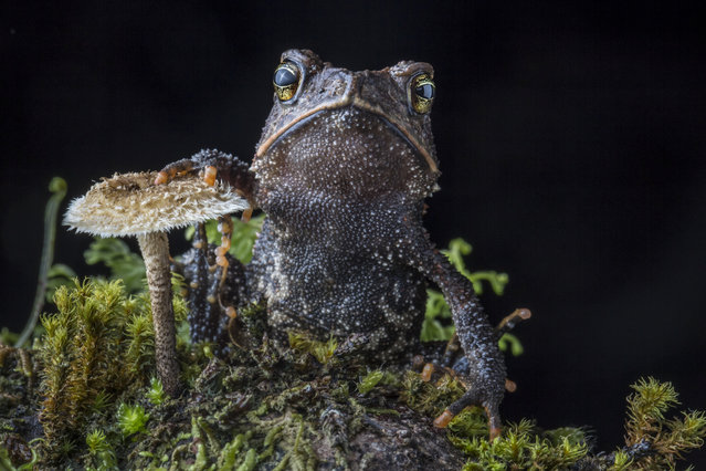 The Cuchumatan Golden Toad, Incilius aurarius, from the Cuchumatanes mountains of Guatemala, found during a search for lost salamanders. This species was only discovered as recently as 2012. (Photo by Robin Moore)