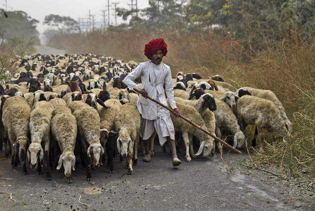 An Indian nomadic shepherd from the western Rajasthan state guides his flock of sheep through an access road in Greater Noida, outskirts of New Delhi, India, Tuesday, December 5, 2017. Looking for suitable pasture lands for grazing, shepherds migrate their flocks over extensive areas in the same state or to neighboring states in India. (Photo by R.S. Iyer/AP Photo)