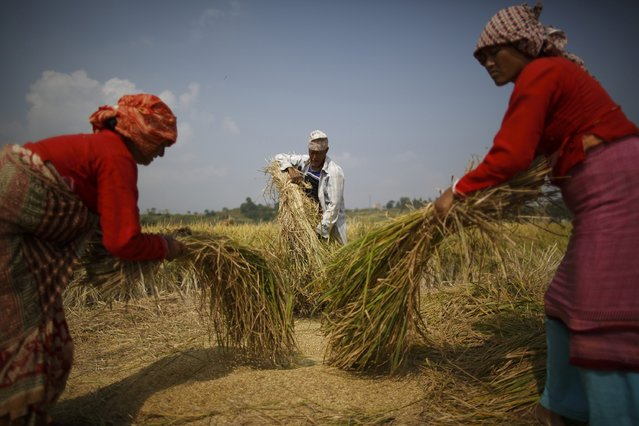 Farmers harvest rice on a field in Lalitpur October 30, 2014. (Photo by Navesh Chitrakar/Reuters)