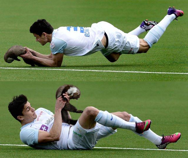 Benito dives and catches the marten. (Marcel Bieri/Keystone)
