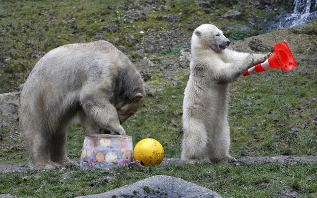 Polar bear Giovanna (L) eats an ice cake with fresh fruit and cream next to one of her twin cubs during celebrations of the cubs' first birthday in their enclosure at Tierpark Hellabrunn zoo in Munich December 9, 2014. (Photo by Michaela Rehle/Reuters)