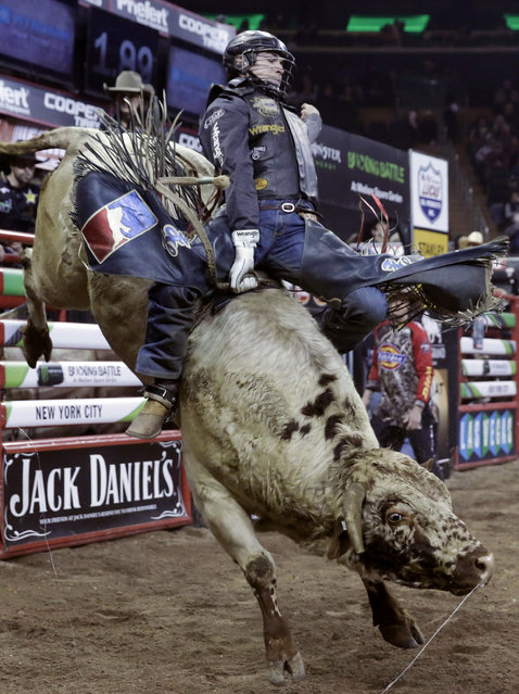 Zane Lambert, from Westbourne, Manitoba, rides Rectify during the Professional Bull Riders Buck Off, in New York's Madison Square Garden, Saturday, January 17, 2015. (Photo by Richard Drew/AP Photo)