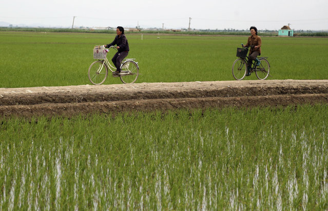 Cyclists ride along rice fields in Sariwon, North Korea, Wednesday, June 13, 2018. Away from the political developments that have rocketed their country back into the international headlines, North Korean farmers are preparing for the summer season with hopes the relatively good conditions they have had so far this year will hold out until the fall harvest. (Photo by Dita Alangkara/AP Photo)