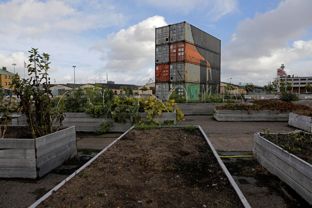 A general view on Jubileumsparkens odlarforening (Jubilee Park cultivating compound) community farm in Gothenburg, Sweden, September 28, 2016. (Photo by Maxim Shemetov/Reuters)