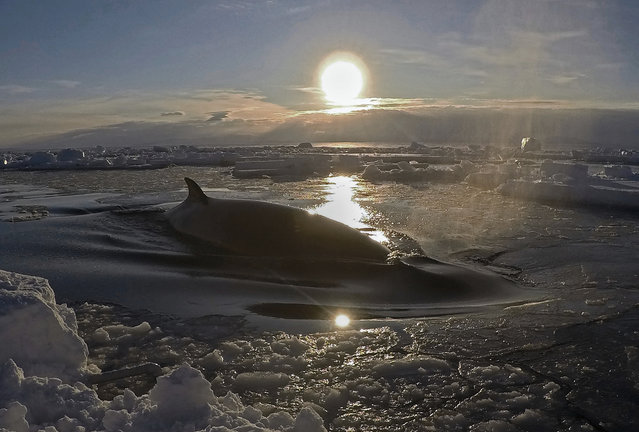 In this January 31, 2018, image supplied by Dr Regina Eisert of the University of Canterbury a minke whale floats to the surface through the ice in McMurdo Sound, Antarctica. Marine mammal expert Regina Eisert thought minke whales were a little boring until she captured some stiking footage of one swimming underwater near Antarctica. Now she thinks they're beautiful. (Photo by Regina Eisert/University of Canterbury via AP Photo)