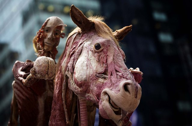 "Gunther von Hagens' anatomical horse and rider ""Rearing Horse with Rider"" is seen on display at Times Square in New York, on July 24, 2013. The piece is part of the Body Worlds: Pulse anatomical art and science exhibition that displays preserved human bodies through a process called Plastination, which reveals inner anatomical structures. (Photo by Shannon Stapleton/Reuters)"