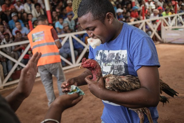 Jockeys and owners attend to their birds during a Cock fighting tournament on December 3, 2016 on the outskirts on Antananarivo. (Photo by Gianluigi Guercia/AFP Photo)