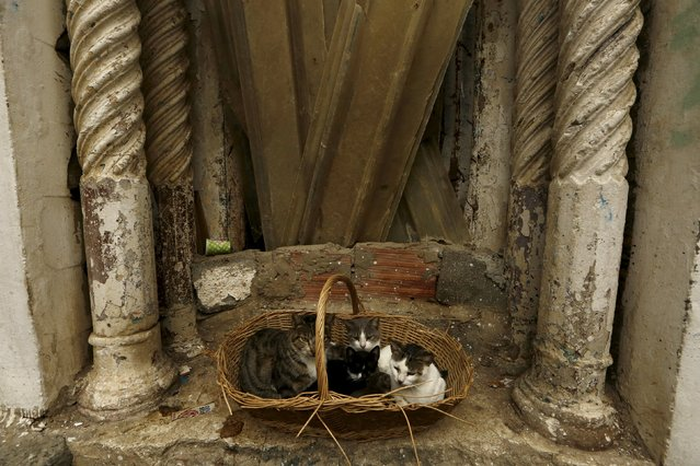 Cats sit in a basket in the old city of Algiers Al Casbah, Algeria December 3, 2015. (Photo by Zohra Bensemra/Reuters)