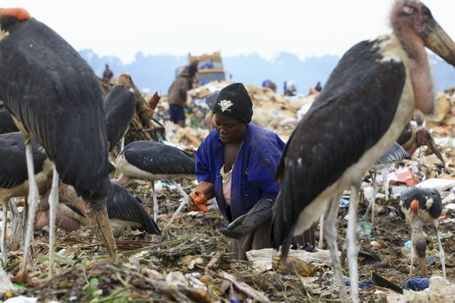 A woman whose livelihood depends on selling recyclable wastes collects trash from a dumping site while surrounded by Marabou storks on the outskirts of Uganda's capital Kampala March 31, 2015. (Photo by James Akena/Reuters)