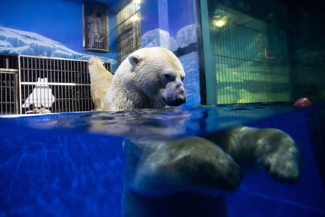 A polar bear swims in a bassin at its cage at the Harbin Polarland Aquarium during the annual Harbin International Ice and Snow Festival in Harbin, Heilongjiang province, China, 06 January 2019. The aquarium is one of several local highlights that attracts tourists who are in town for the International Ice and Snow Festival. (Photo by Roman Pilipey/EPA/EFE)