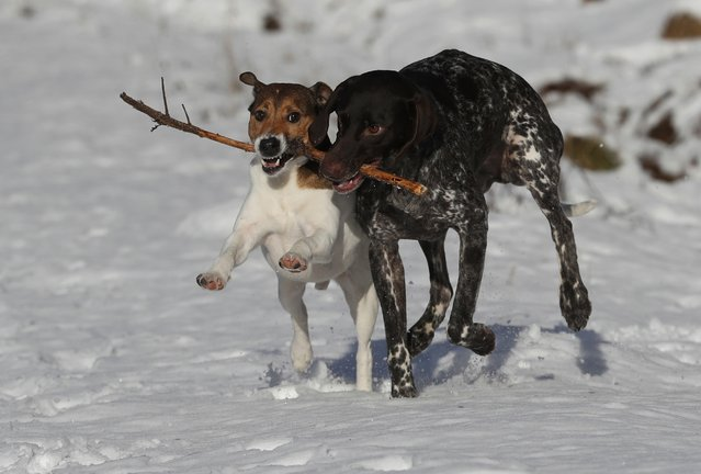 Two dogs play with a stick in the snow near Pitlochry in Scotland, Britain January 14, 2017. (Photo by Russell Cheyne/Reuters)