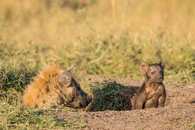 Hyena with young cub, in Masai Mara, Kenya, August 2015. (Photo by Ingo Gerlach/Barcroft Images)
