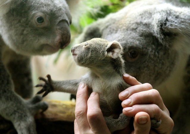 A circa six months old female baby koala looks to her parents on January 22, 2014 at the zoo in Duisburg, western Germany. The baby koala was taken out of its mother's pouch for being weighed – it has 350 grams. (Photo by Roland Weihrauch/AFP Photo/DPA)