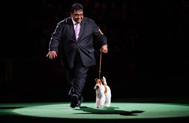 Sky, a wire fox terrier, competes with her handler, Gabriel Rangel, in the Best in Show category, on February 11, 2014. Sky became the 14th terrier to win the Best in Show award at the Westminster Kennel Club Dog Show. (Photo by Andrew Burton/Getty Images)