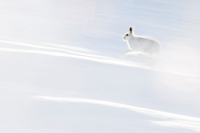 """Action, joint winner: Hermann Hirsch, """"White flash"""" (Arctic hare, Scotland). (Photo by Hermann Hirsch/2019 GDT Nature Photographer of the Year)"""