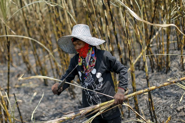 A worker harvests sugar cane in a field at Pakchong district in Ratchaburi province, Thailand March 22, 2016. (Photo by Jorge Silva/Reuters)